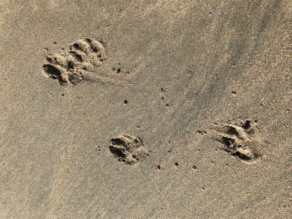 dog paw prints in the sand in Cornwall